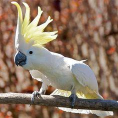 Cacatua-de-crista-amarela (Cacatua galerita)