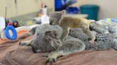 PHOTO: Phantom the koala joey cuddles his mom Lizzy during her recent treatment at the Australia Zoo Wildlife Hospital.