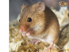 Young Harvest Mouse
