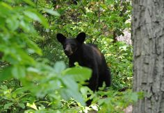 Black Bear Photo by Alexandria Shankweiler -- National Geographic Your Shot