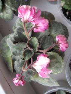 Nosegay Pink(полумини,махровая оса)Сортовая розетка 20.01.(фото моё).На бутонах.