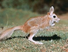 spring hare | rodent | Encyclopedia Britannica