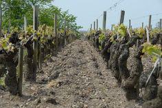 Photo des vignes du Château Le Crock