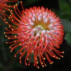 leucospermum- cordifolium x glabrum