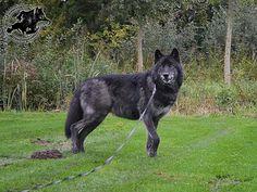 Andras - European Wolfdogs
