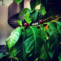 Our coffee plant. With red cherries! ✨