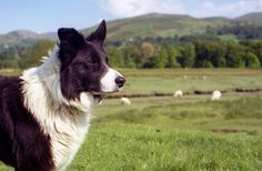 The Border Collie is a herding dog breed developed in the Anglo-Scottish border region for herding livestock, especially sheep.