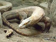 komodo dragon - Google Search