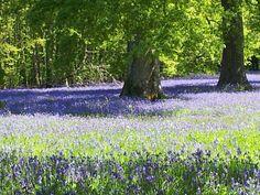 Bluebells @ Enys garden - Penryn, Cornwall Falmouth Cornwall, St Ives Cornwall, Cornwall England, Places Around The World, Around The Worlds, British Isles, Devon, Countryside, Serenity