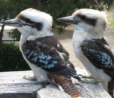 Picture of a pair Kookaburra birds. Most Beautiful Birds, Pretty Birds, Love Birds, Animals Beautiful, Beautiful Creatures, Small Birds, Little Birds, Baby Animals, Cute Animals