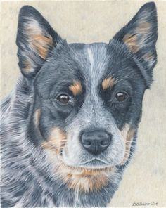 Wow! beautiful Blue Heeler by Tara Tiberio #cattledog #blue heeler