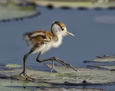 Introducing the baby Jacana... http://ift.tt/2kQEAHM