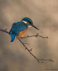 Kingfisher - by Photo.net photographer Peter Dam