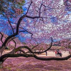 【tsumizo】さんのInstagramをピンしています。 《February,2016 My favorite pic 2016.2.19 post 新宿御苑 寒桜の裏側  寒桜は2月に満開になります。 新宿御苑の寒桜は特に枝ぶりが見事でした。 それを裏側から眺めるのが大好き。 来年もきっと見に行くことでしょう。  本日から12回、一日3枚~4枚、私の毎月のお気に入り写真を振り返っております。 自己満足の世界ですが、お付き合い頂ければ幸いです。  #Repost @tsumizo ・・・ 東京都新宿区・新宿御苑 寒桜裏側二週間後 #ShinjukuGyoen #WinterCherryBlossoms #CherryBlossoms #BackSide #2WeeksLater #Shinjuku #Tokyo #Japan #新宿御苑 #寒桜 #裏側 #桜 #二週間後 #前回20160203 #今回20160217 #新宿区 #東京都 #Nikon #D750 #instagram #instagramjapan #土曜日の小旅行 #tokyocameraclub…