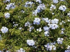 Plumbago Care: Where And How To Grow A Plumbago Plant