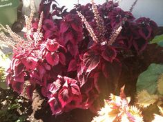 Another Coleus: Previously described. This Or That Questions, Garden, Plants, Lawn And Garden, Gardens, Plant, Outdoor, Home Landscaping, Tuin