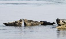 Four seals in a bay at the north end of the Isle of Jura