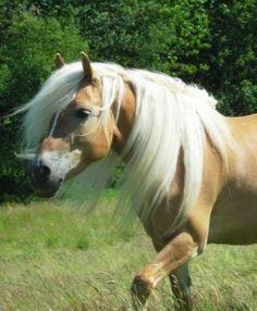 haflinger | De paarden -- van H0rse--GAME bij Imonline.nl!
