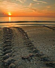 Sea turtle tracks heading back to sea. Sunrise, Melbourne Beach, FL