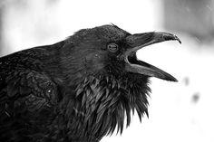 . Raven Speak