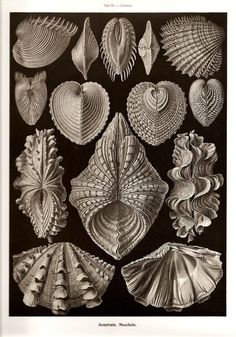 Ernst Haeckel Print SHELLS 2010 Colored Art Print Vintage Book PLATE 55 56 Gorgeous Shells, Sea and Ocean Life both sides are Very Beautiful...