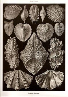 botanical prints shells - Google Search