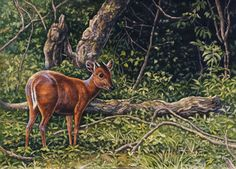 Red Duiker by Willem.