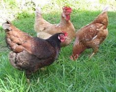 Of course, you can find chickens on a farm, but not ours. When they roosted on Case's tractor seat that was it :)
