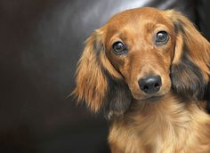 - Great Custom Picture Framing and Art Gallery in Charlottesville, Virginia Brown Dachshund, Dachshund Love, Cute Puppies, Cute Dogs, Adorable Babies, Clever Dog, Dog Heaven, Like Animals, Beautiful Dogs