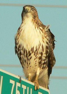 hawk eye, via Flickr.