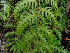Woodwardia unigemmata (Макино) Накаи 頂芽 狗脊 蕨 - (奧 萬 大 南溪)