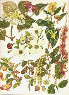 Beautiful bookplate from 1970 book of Wild Flowers with several beautiful plants. Measures approx. 9 x 12 inch., printed in Italy on excellent quality paper/cardstock. Excellent like new condition. Beautiful details and colors - you will love the plate! This is the ORIGINAL
