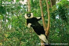 Black-and-white ruffed lemur standing lookout