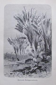 1896 RAVENALA MADAGASCARIENSIS alter Druck antique Print Lithographie