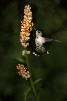 A beautiful ruby-throated hummingbird - bird art by Renee Dawson