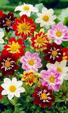 ~~Harlequin Collarette Dahlia Mix |  dwarf, early flowering, collarette type dahlia producing a superb array of unusual bicolor and single color, semi-double and double blooms. Ideal for beds and borders, patio pots and containers. Flowers May-September | Little Green Sprouts~~