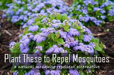 Natural ways to repel mosquitos, plants that repel mosquitos and how to keep the mosquitos away!