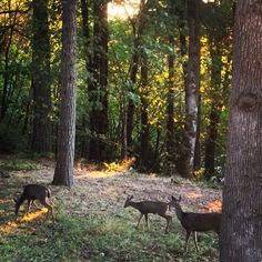 Beautiful photo of some deer in the woods near Corvallis, Oregon. Photo by @haijinx.