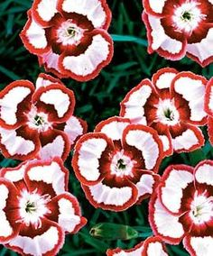 Dianthus Raspberry Swirl. This just makes me happy!