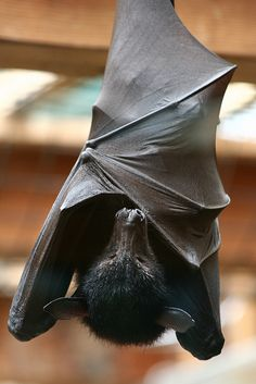 Flying Fox Bat at The Columbus Zoo and Aquarium