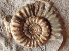 Ammonite, Sinémurien, Grande Bretagne (195 - 190 MA)