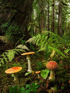 Mushrooms (Amanita muscaria ) in Vancouver, British Columbia Rain Forest - Photo by Ian McAllister http://environment.nationalgeographic.com/environment/photos/rainforests-temperate/#/vancouver-toadstool_420_600x450.jpg