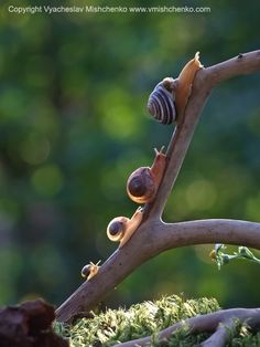 "faerieforests: "" Snails by Vyacheslav Mishchenko """