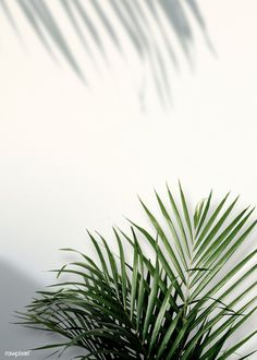 Areca palm shadows on a white wall premium image by rawpixel Adj HwangMangjoo marinemynt Areca palm shadows on a white wall premium image by rawpixel Adj HwangMangjoo marinemynt Lonie Smitham nbsp hellip backgrounds aesthetic green Plant Aesthetic, White Aesthetic, Photo Wall Collage, Picture Wall, Aesthetic Backgrounds, Aesthetic Wallpapers, Plant Wallpaper, Tropical Leaves, White Walls