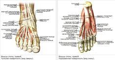 мышц стопы