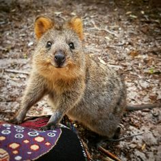 Scary Animals, Happy Animals, Cute Baby Animals, Animals And Pets, Funny Animals, Quokka Baby, Australia Animals, In Natura, Cute Creatures