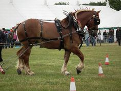 Suffolk Punch Horse | suffolk punch heavy horse | Flickr - Photo Sharing!