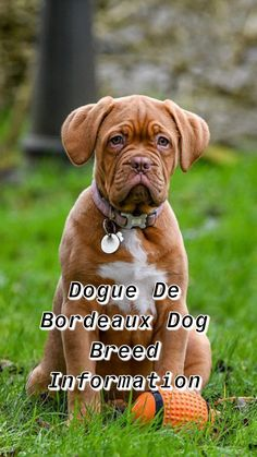 Ultimate Dogue de Bordeaux Breed Information - Train Your Own Dogs French Mastiff Puppies, Pitbull Mastiff, English Mastiff, Giant Dog Breeds, Giant Dogs, Big Dogs, Dogs And Puppies, Bordeaux Dog, Group Of Dogs
