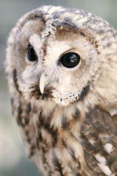 Spotted Owl - ©Shoal Hollingsworth (via FineArtAmerica) Beautiful Owl, Animals Beautiful, Cute Animals, Wild Animals, Northern Spotted Owl, Owl Pictures, Owl Photos, Tawny Owl, Owl Bird