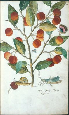 The May Cherry in Tradescant's Orchard, unknown artist ca 1611-1630